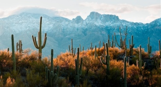 Lines of Saguaro cacti, Carnegiea gigantea, at dawn with the snowy north face of the Santa Catalina Mountains dominated by Table Mountain near Tucson, Arizona.